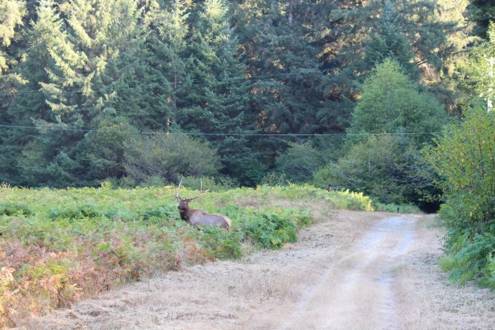 The injured male elk. We got fairly close to this one.